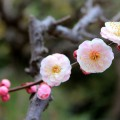 blooming-apple-tree