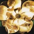 Magnolia-cover