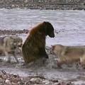 wolves-bear-2015